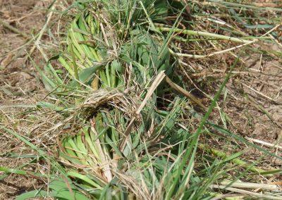 tressage herbe a